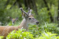 Free Whitetail Deer Buck In Velvet Royalty Free Stock Images - 1518779