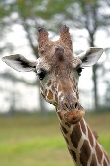 Free Closeup Of Giraffe Stock Image - 1510121
