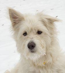 Free White Dog Royalty Free Stock Image - 1511086