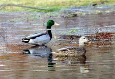 Free Mallard Ducks Royalty Free Stock Photography - 1511677