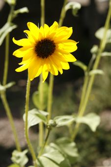 Free Sunflower Royalty Free Stock Images - 1513899