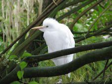 Free Great Egret - Casmerodius Albus Royalty Free Stock Image - 1518536