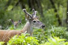 Whitetail Deer Buck In Velvet Royalty Free Stock Images