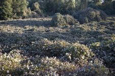 Free Field Of Kudzu After Freeze Royalty Free Stock Images - 1519089