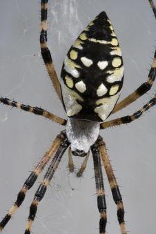 Free Garden Spider Detail Stock Image - 1519341
