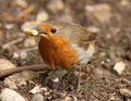 Free Robin Stock Images - 15108394