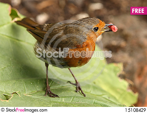 Free Robin Royalty Free Stock Images - 15108429