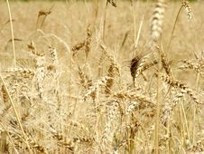 Free Ears Of Wheat Royalty Free Stock Photos - 15100048
