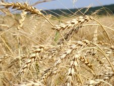 Free Ears Of Wheat Stock Photo - 15100100