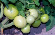 Free Green Tomatoes Royalty Free Stock Photography - 15100627