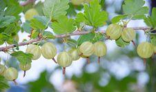 Free Gooseberries Stock Photo - 15100690