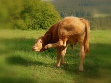 Free Thoughtful Young Cow Stock Photo - 15101690