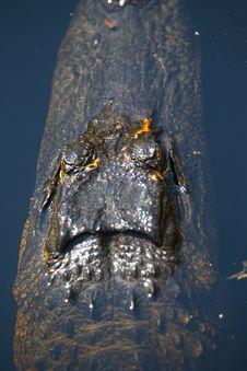 Free Alligator Royalty Free Stock Photography - 15102517