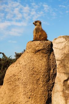 Free Suricate Stock Photos - 15102763