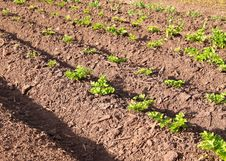 Free Agriculture Royalty Free Stock Images - 15102809