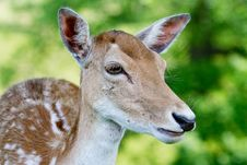 Side Profile Shot Of A Doe Fallow Deer Stock Image