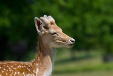 Free Side Profile Shot Of A Young Stag Fallow Deer Royalty Free Stock Image - 15102896