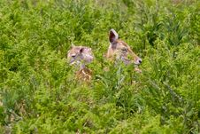 Mother And Baby Fallow Deer Stock Images