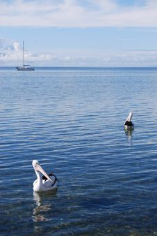 Free Pelicans Stock Photography - 15103902