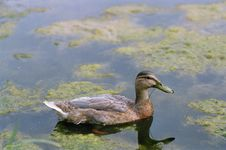 Duck Floating In Pond Stock Photography
