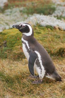 Free Magellan Penguin Stock Images - 15104314