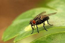 Free Housefly Stock Images - 15104354