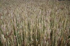 Free Wheat Royalty Free Stock Images - 15105649