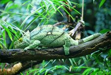 Free Male Chameleon Stock Photography - 15106072