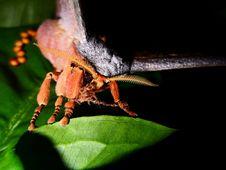 Free Giant Moth Stock Photo - 15107680