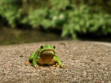 Free Frog Royalty Free Stock Photos - 15108388