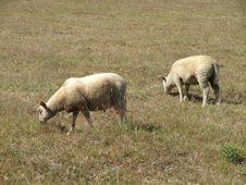 Free Sheep Grazing Royalty Free Stock Photo - 15109025