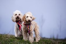 Free Poodle Portrait Royalty Free Stock Images - 15109689