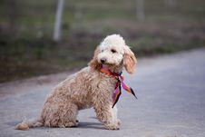 Free Poodle Portrait Stock Photography - 15109692