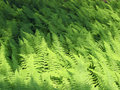 Free Ferns Blowing In The Wind Royalty Free Stock Images - 15113449
