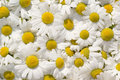 Free Camomile Royalty Free Stock Image - 15115566