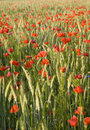 Free Red Poppy Stock Photography - 15115762