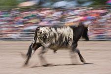 Free Running Calf Stock Photo - 15110230