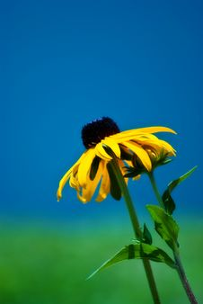 Free Black Eyed Susan / Yellow Flower Stock Image - 15110351