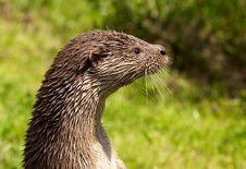 Free European Otter Stock Photography - 15110442