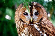 Free A Tawny Owl Stock Photo - 15110460
