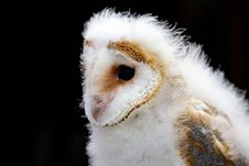 Free Young Barn Owl Stock Photography - 15110462