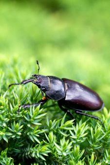 Female Stag Beetle Stock Photography