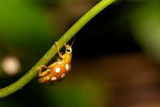 Free Orange Ladybird Stock Photo - 15110490