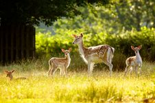 Free Fallow Deer And Calfs Royalty Free Stock Photo - 15110495