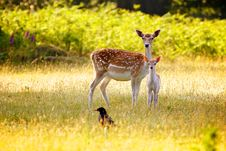 Free Fallow Deer And Calf Royalty Free Stock Photography - 15110507