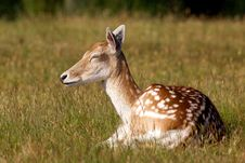 Free Fallow Deer Stock Images - 15110514