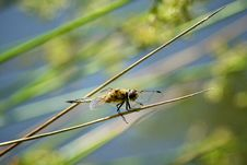 Four Spotted Chaser Royalty Free Stock Photo