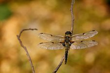 Four Spotted Chaser Dragonfly Royalty Free Stock Photography