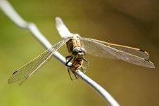 Free Broad Bodied Chaser Dragonfly Royalty Free Stock Images - 15110519