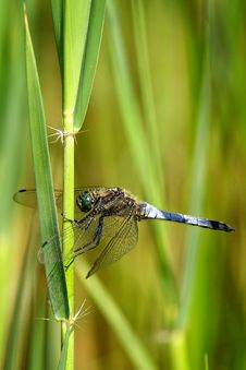 Free Broad Bodied Chaser Dragonfly Stock Photo - 15110530